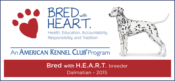 Bred with Heart Dalmatian